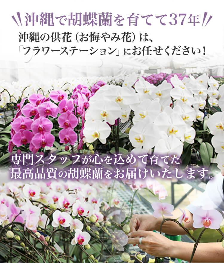 沖縄で胡蝶蘭を育てて37年。沖縄の供花(お悔やみ花)は、「フラワーステーション熱帯資源」にお任せください!専門スタッフが心を込めて育てた、最高品質の胡蝶蘭をお届けいたします。