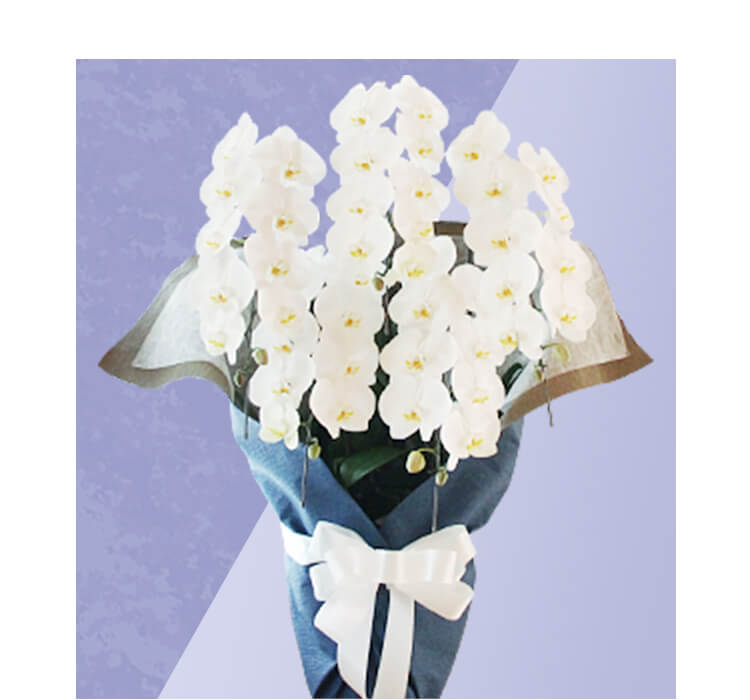 供花<タイプ2>胡蝶蘭 大輪 白 5本立 1鉢