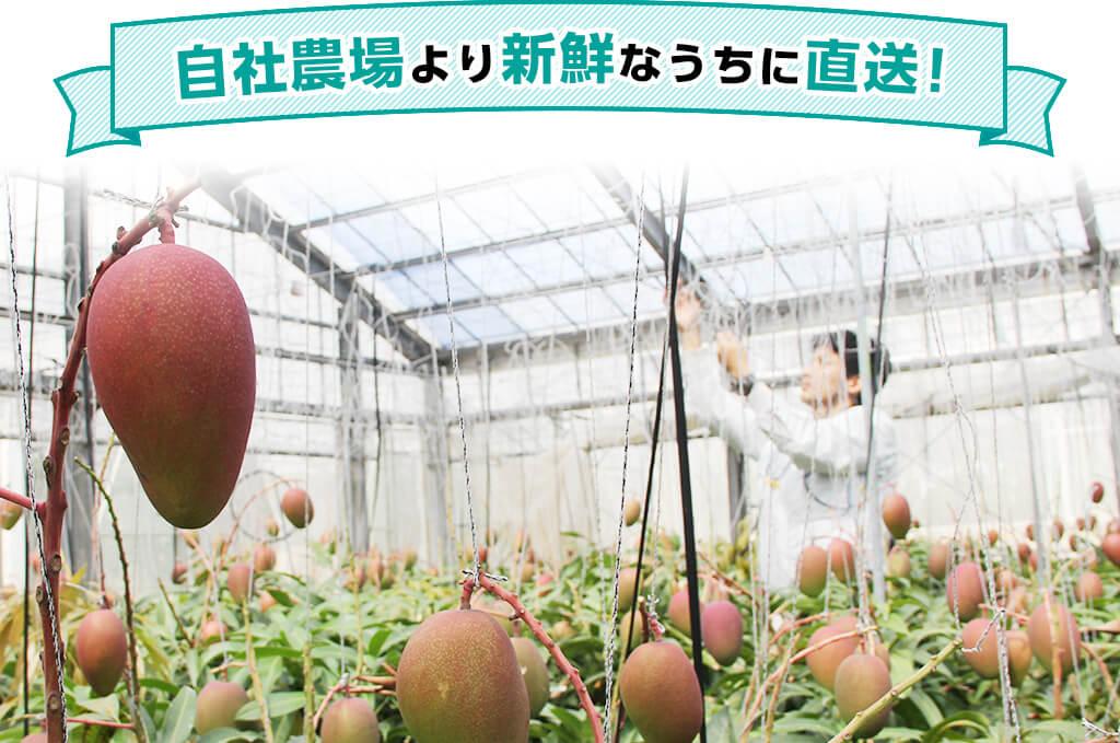 熱帯資源の完熟マンゴーは、沖縄の自社農場より新鮮なうちに直送!